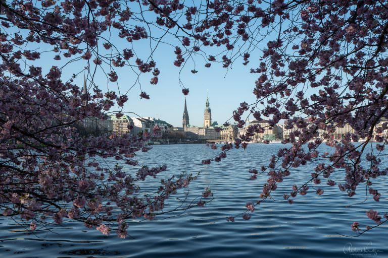 Binnenalster zur Kirschblüte