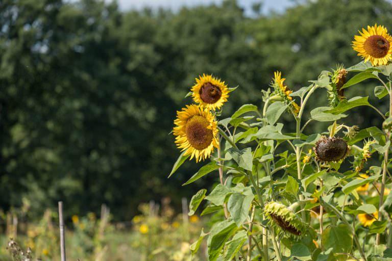 Sonnenblumen im Niendorfer Gehege